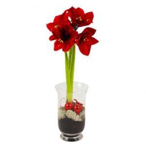 Röd eller vit amaryllis (välj färg själv) i kruka eller glas - skicka den med ett blombud från Florister i Sverige!